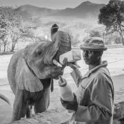 keeper-feeding-bottle-to-orphan-elephant