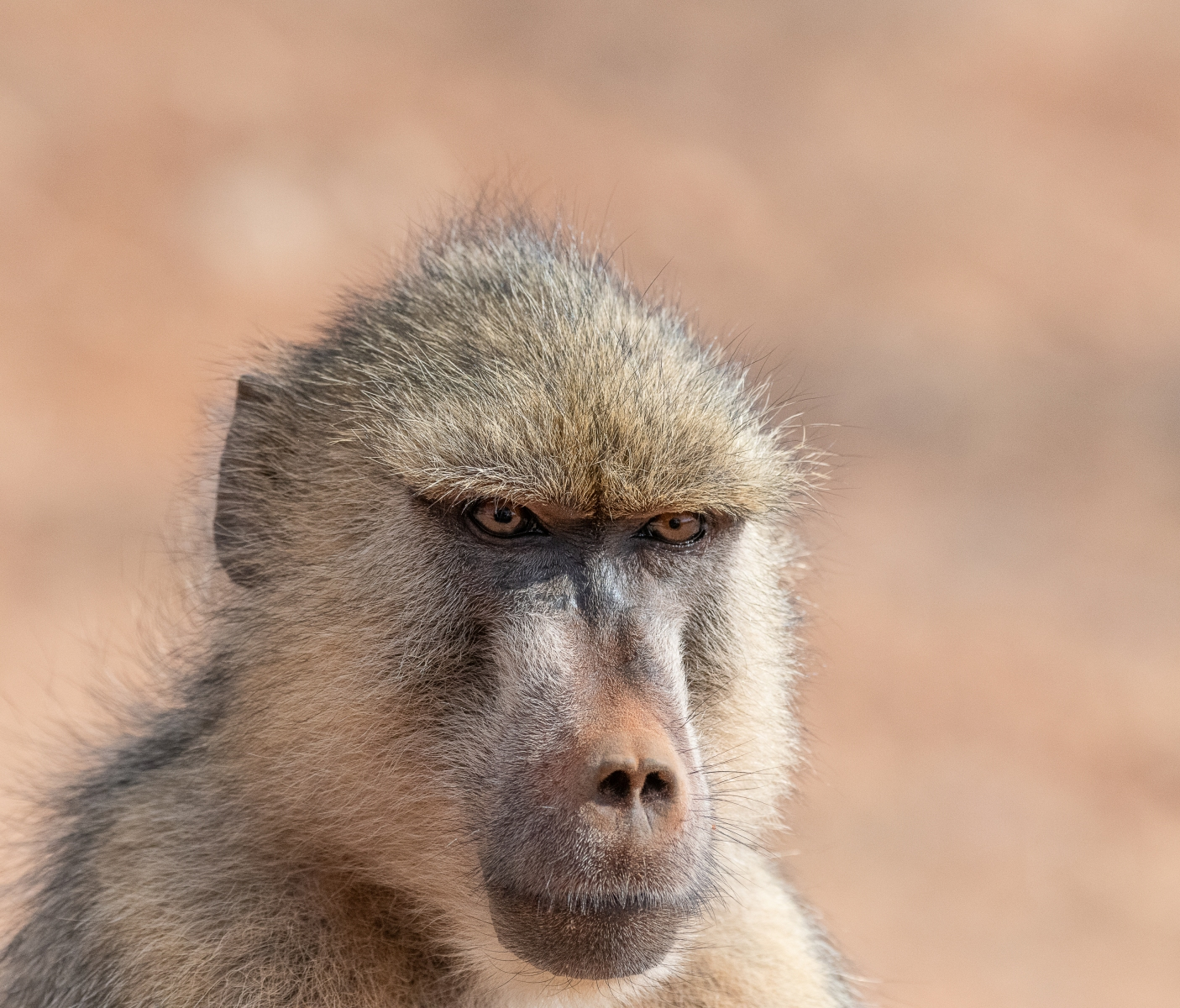 Handsome male baboon