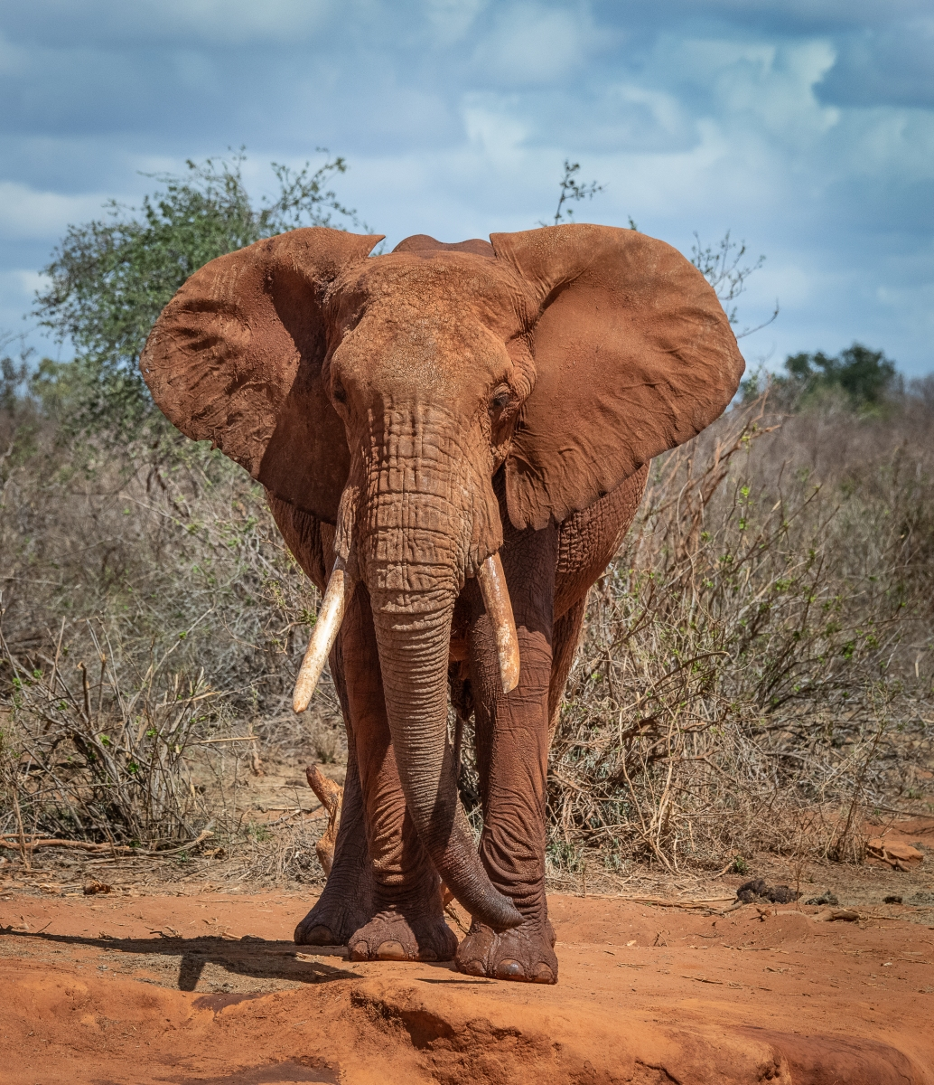 Old bull elephant in Tsavo