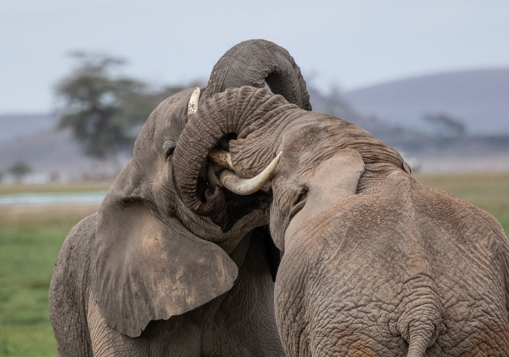 Young bull elephants playing 2