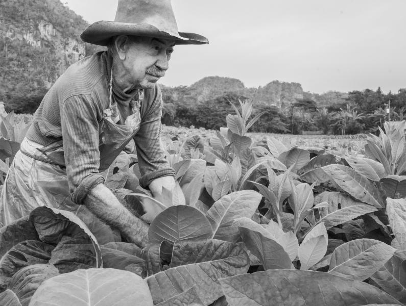 Cuba tobacco harvester