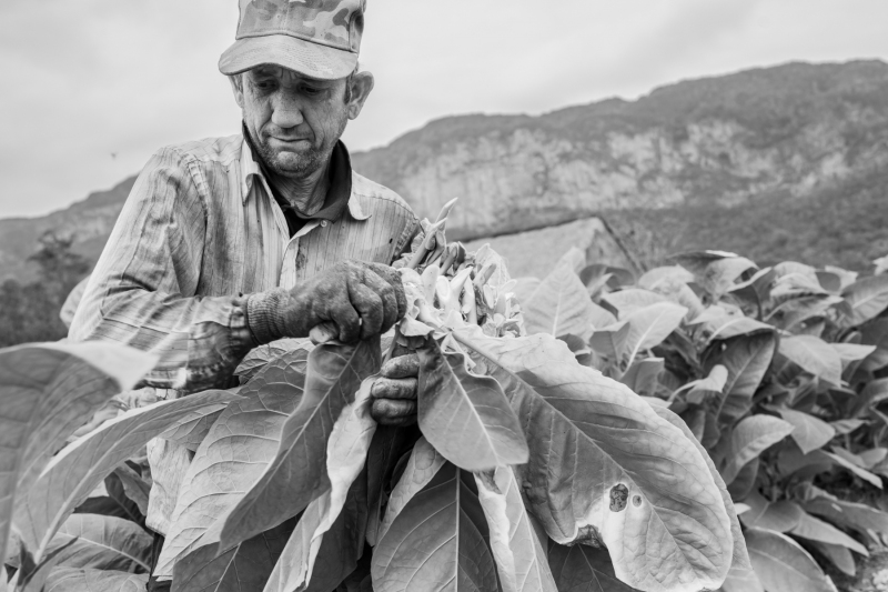 Harvesting tobacco in Vinales Valley Cuba