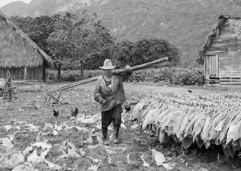 Tobacco harvest in Vinales Valley Cuba