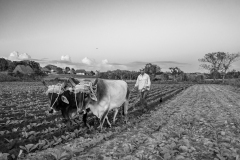 Plowing fields with oxen in Vinales Valley Cuba
