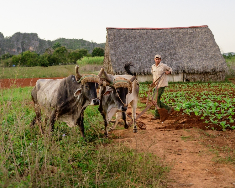 Plowing with oxen, Cuba Vinales Valley