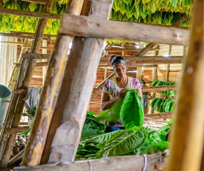 Woman-sewing-tobacco-leaves-together-for-drying