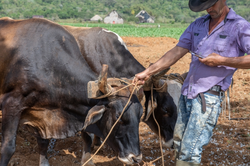 Farmer with oxen and cell, Cuba