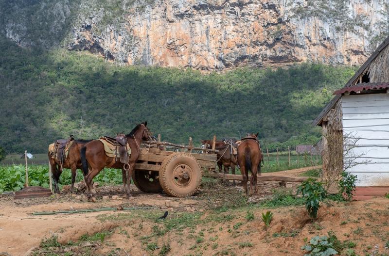 Horses for trail rides, Vinales, Cuba