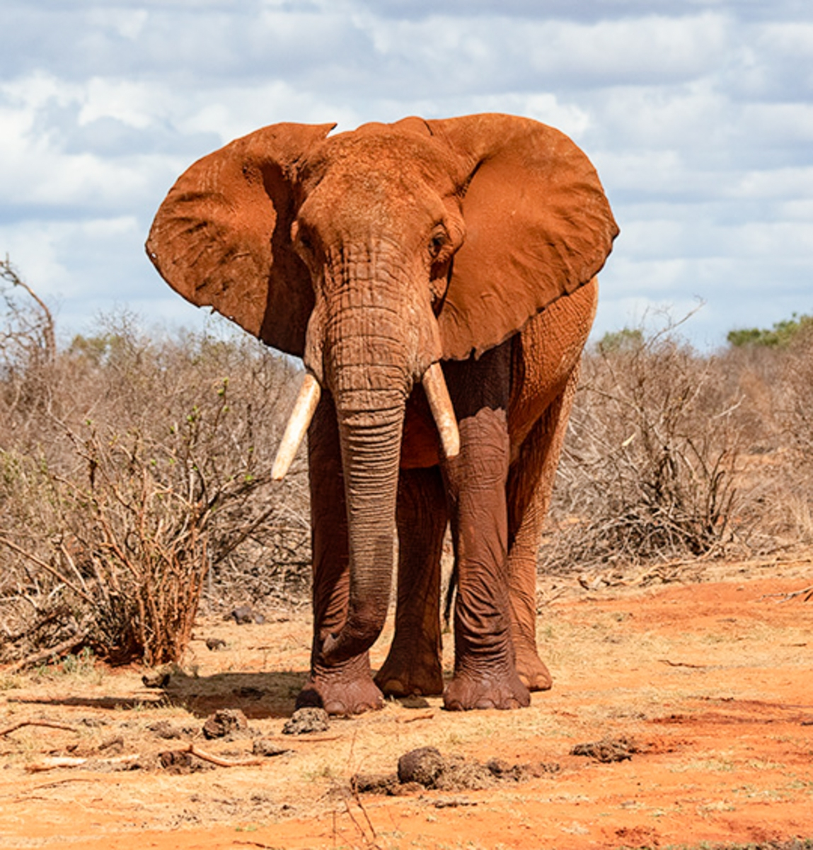 bull-elephant-Tsavo