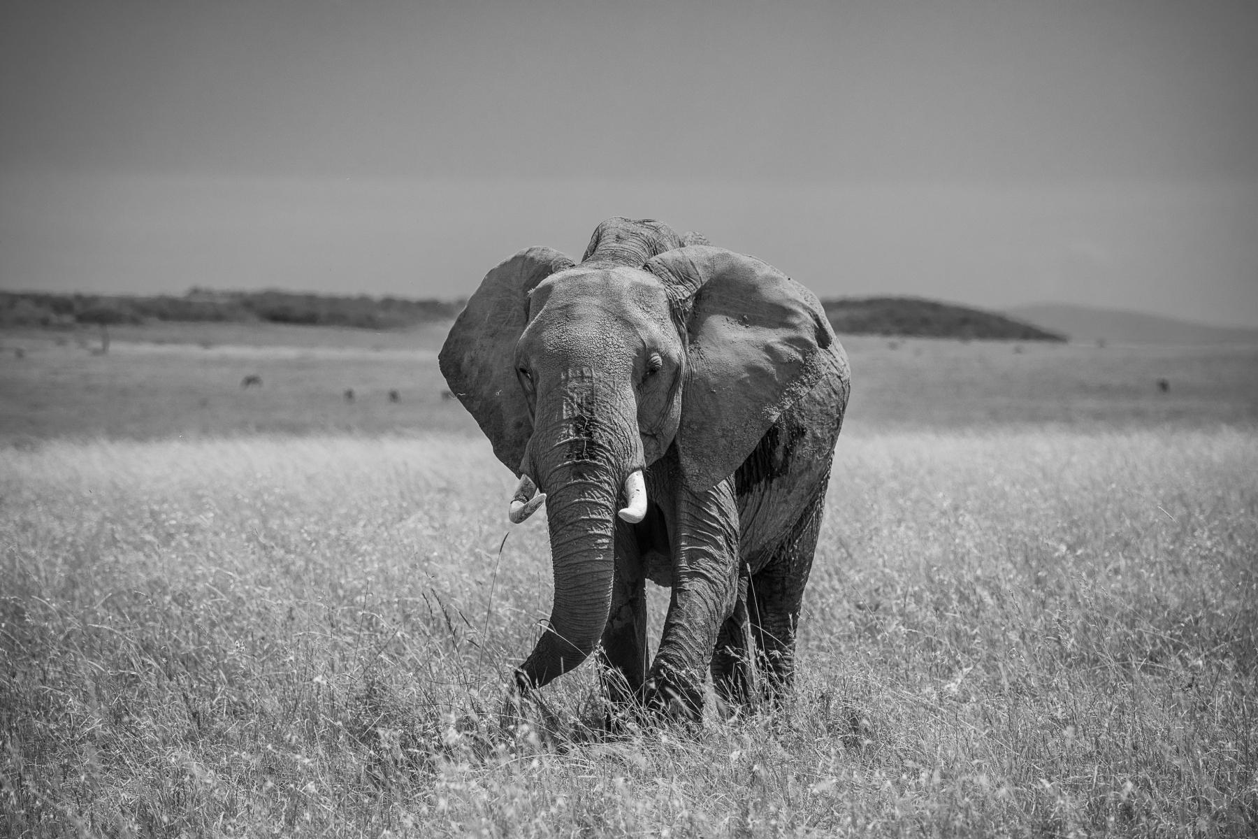 elephant-b_W