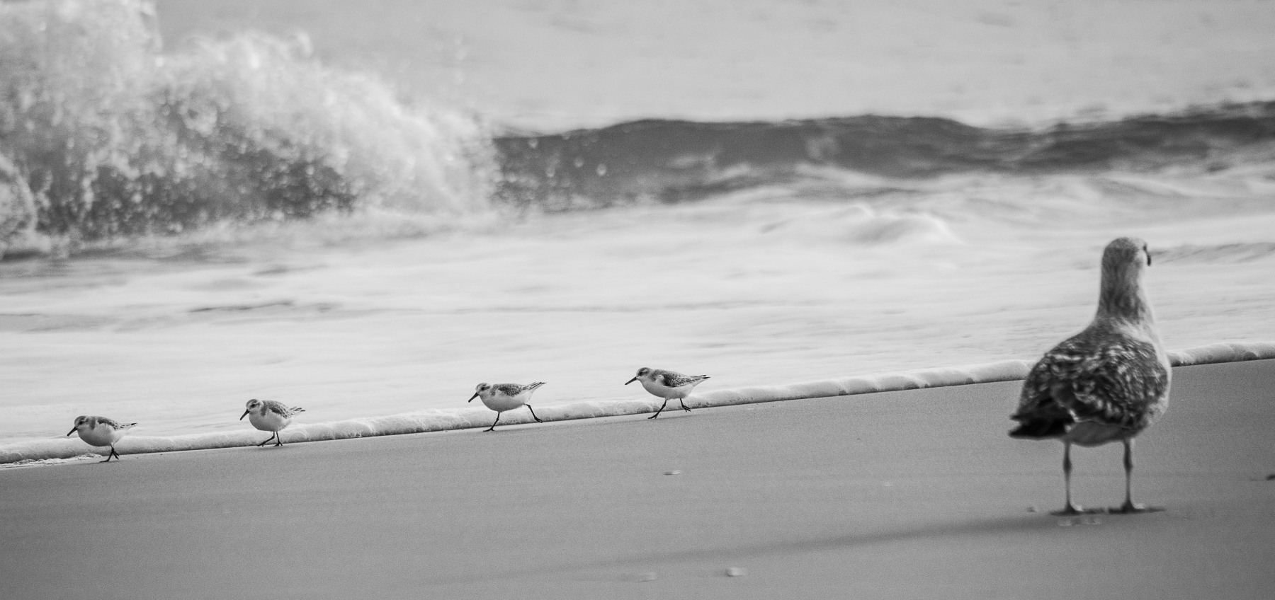 gull-and-sanderlings