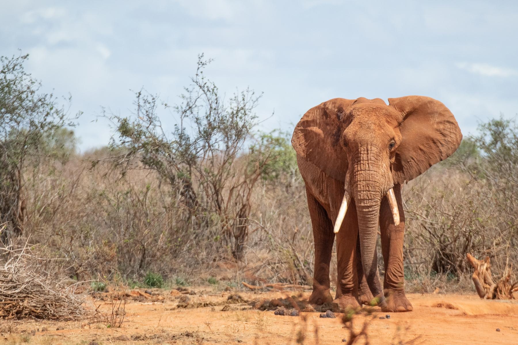 old-bull-elephant-5163