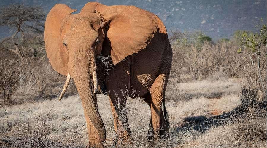 Red Elephant in Tsavo